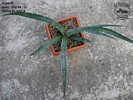 Agave spec. IDD 89/01